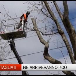 Bergamo rifa il look del verde: spariranno pioppi e betulle