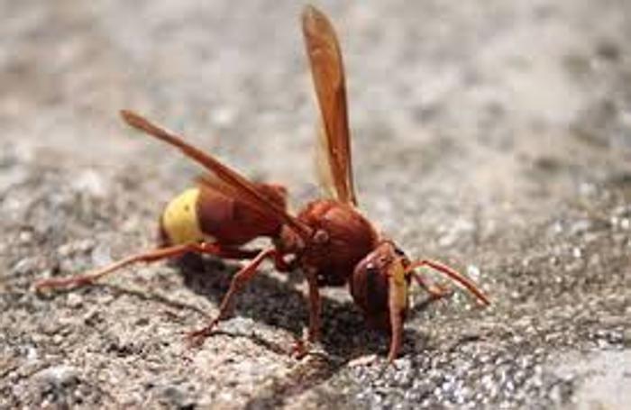 La vespa orientalis