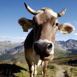 A Bossico si gusta il formaggio e si potrà «adottare» una mucca
