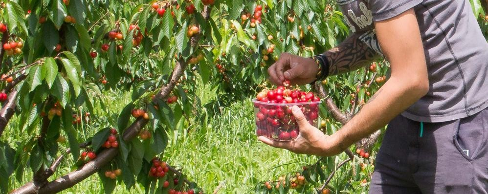 Devi fare la spesa di frutta? Raccoglila direttamente tu dai rami