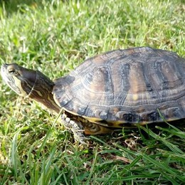 Chi ha visto Mortadella la tartaruga? (E se pensate sia lenta, vi sbagliate)