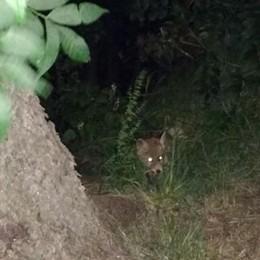 E ogni sera i cuccioli di volpe  sbucano dal bosco a Berbenno