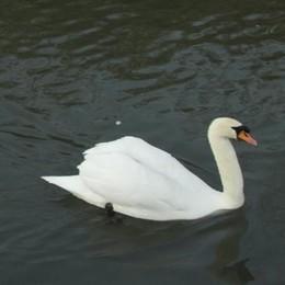 Trucca, un lettore preoccupato segnala: «Dove sono le uova dei cigni del lago?»