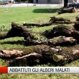 Fara: tagliati gli alberi malati