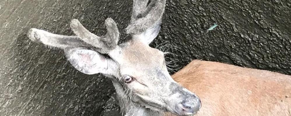 Salvato e liberato un cervo intrappolato ad Oltre il Colle