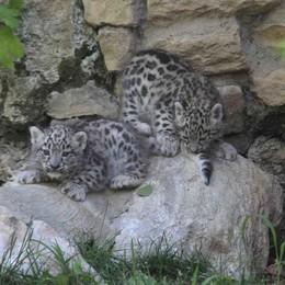 Due rari fiocchi azzurri alle Cornelle Sono nati due leopardi delle nevi - Foto