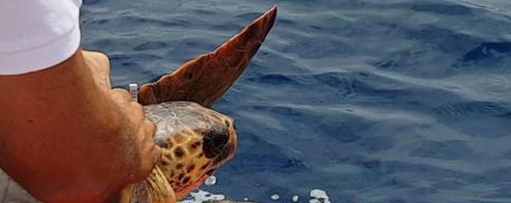 Mirella la tartaruga torna in mare Grande festa in Liguria - Video