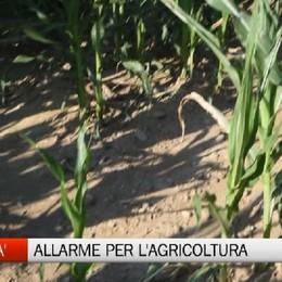 L'agricoltura soffre la siccità. Allarme per gli alpeggi