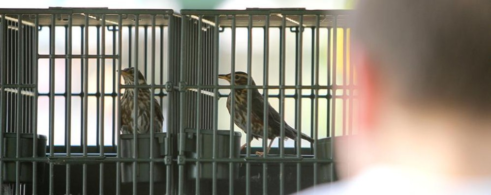Aviaria nella Bassa lombarda Sospesa la fiera degli uccelli di Pontida