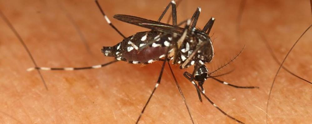La zanzara tigre torna all'attacco Raddoppiate le uova nelle trappole