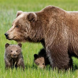 Trento: «Il pensionato ha aggredito l'orso, non viceversa»