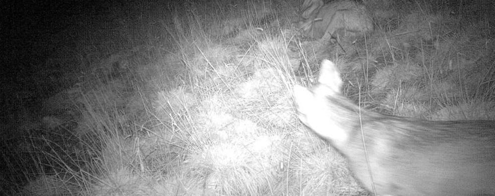 Pecore sbranate in Val Brembana Nella fototrappola spunta il «lupo» - Video