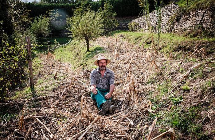 Il campo di mais di Luciano Masnada devastato dai cinghiali