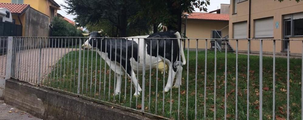 Sparisce una mucca (finta)  Trovata in giardino a scuola