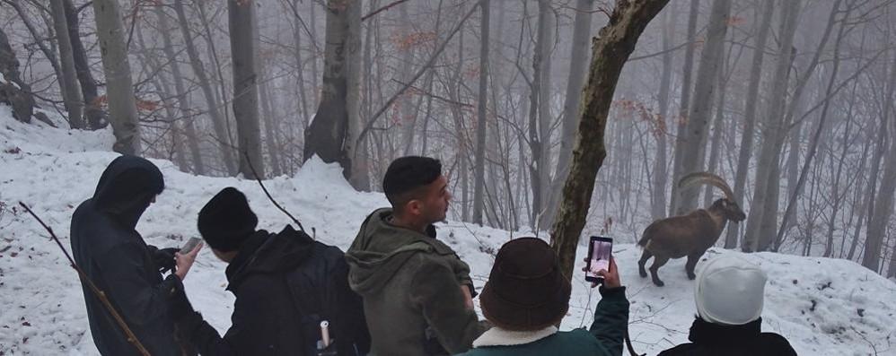 Stambecco star a Valbondione  Foto e selfie con i turisti filippini