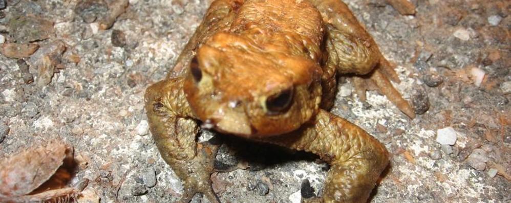 Valle Imagna, lavori al Pertus Più «comfort» per le rane del laghetto