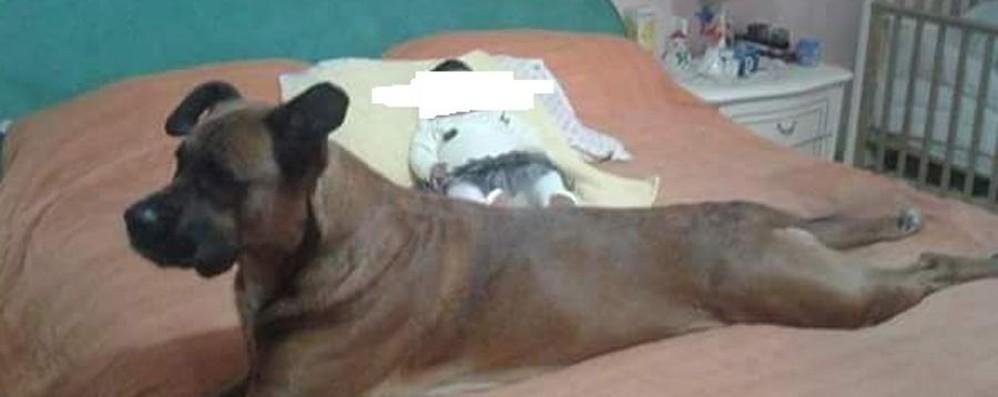 Bimba azzannata, ancora grave Gli animalisti: non abbattete Leone