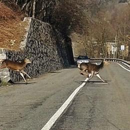La sorpresa sulla strada a Gandellino Sei cervi attraversano all'improvviso