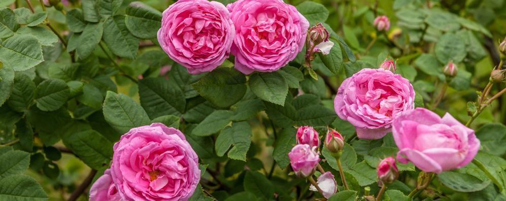Rose  in fiore, termometro a 25°C  Ma il freddo è in agguato
