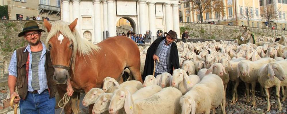 Greggi di pecore e bergamì in Città Alta Torna il Festival de Pastoralismo - Foto