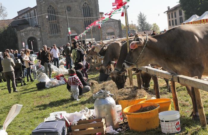 Festival del pastoralismo in Città Alta a Bergamo - mucche sul prato della fara