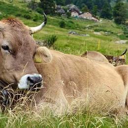Lenna, la prima fiera delle Alpi Mostra-concorso della bruna alpina