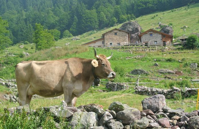 mucca in montagna allevamento - vacca bruna alpina