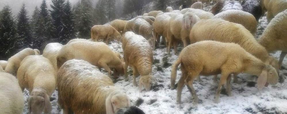 La neve è  ufficialmente arrivata Oltre i 1.500 da Foppolo al Curò