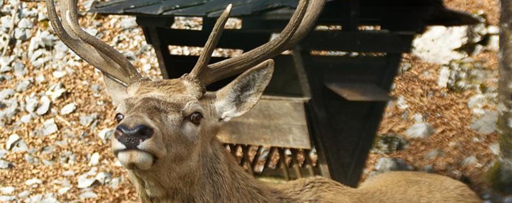 Un altro cervo ucciso in strada A Lenna pericolo segnalato