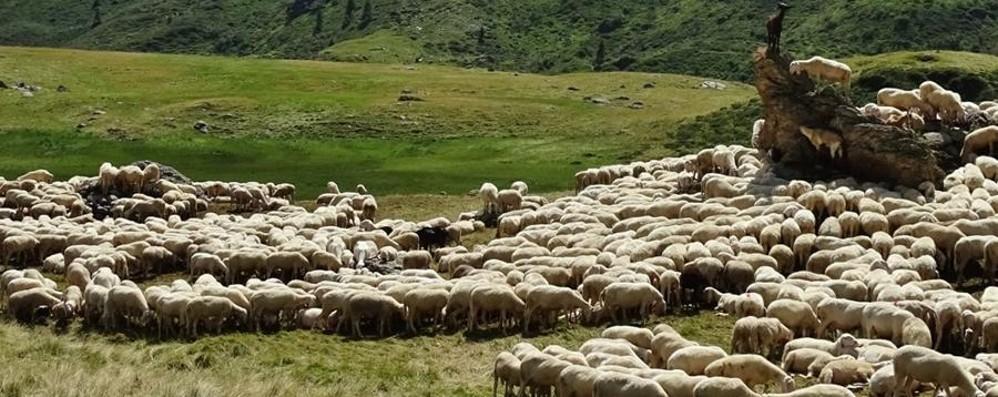 Un'estate con i pastori in alpeggio Giovani volontari da tutta Italia