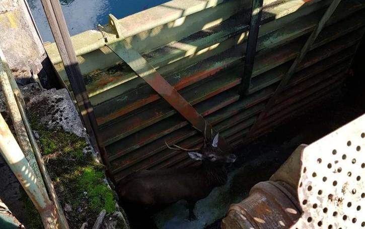 Cervo intrappolato nel canale a Parre Salvato dai Vigili del fuoco con l'autogru