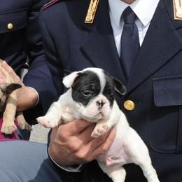 Bergamo, traffico illecito di cuccioli di cane   Sequestrati 150 animali in 6 mesi