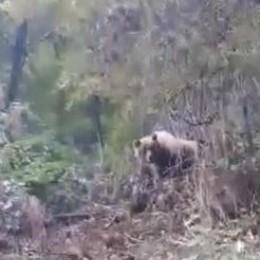 Sorpresa al Passo del Tonale - Video Avvistati mamma orso e il suo cucciolo