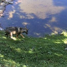 Cassiglio, lupo fotografato di giorno Ritorno ormai certo sulle Orobie