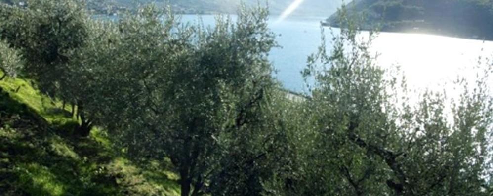 Tornano gli ulivi a Castro e Lovere In «campo» un progetto da 170 mila euro