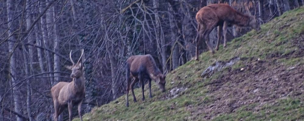 La scampagnata dei cervi a Gandellino Avvistati 11 vicino alle case - Video