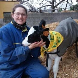 Anche i vitellini si mettono il cappotto Gelo in arrivo, gli allevatori corrono ai ripari