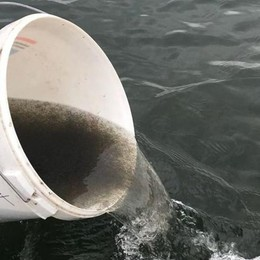 Il lago d'Iseo più ricco di pesci Liberato un milione di mini-coregoni