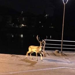 Incidenti a causa degli animali selvatici L'allarme dei sindaci: ora basta