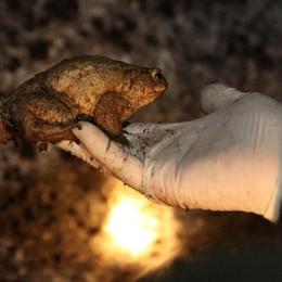 La notte dei bufo bufo si avvicina Si cercano volontari «salva rospi»