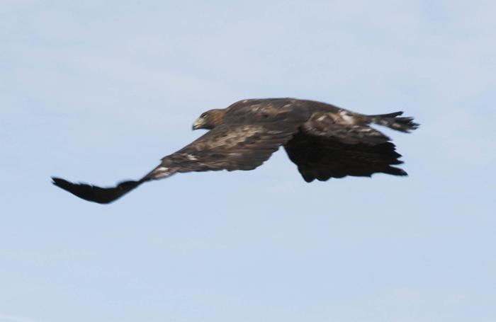 Riserva naturale Oasi WWF e SIC di Valpredina a Cenate Sopra - liberazione dell'aquila reale
