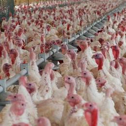 Nuovo focolaio di aviaria nella Bassa A Cologno abbattuti 150 mila tacchini