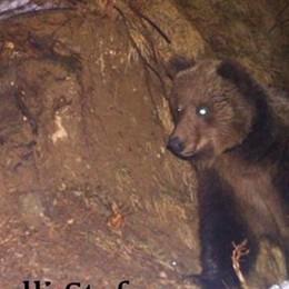 Valleve, l'orso «catturato» da una foto «M18» si è risvegliato dal letargo