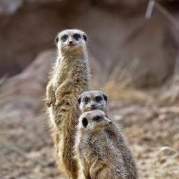 Una nuova casa per i suricati Undici esemplari alle Cornelle