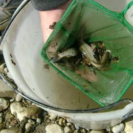 Salvati 500 pesci intrappolati nel fango Alzano, «colpa della nuova centralina»