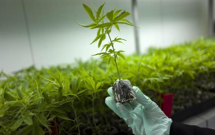 Marijuana, dai campi della Spagna fino a Cenate Sotto. Arrestato spacciatore