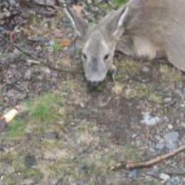 Un altro capriolo ucciso in Val Seriana L'appello: serve più aiuto e soccorsi