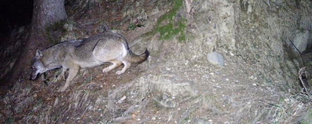 Valle Brembana, il lupo mette radici Fotografato anche a Valleve