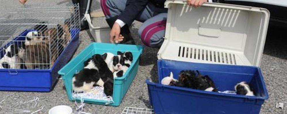 L'allarme: «La tratta dei cuccioli di cane può creare un pericolo sociale»