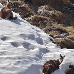 Supercaldo e neve sulle Orobie Anche i camosci cercano il fresco